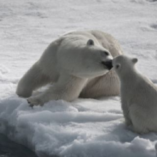 For My Lily She Loves Polar Bears Bebe Ours Polaires Animaux Ours Polaire