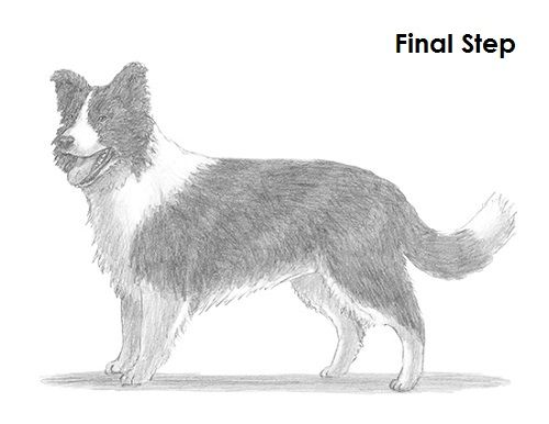 How To Draw A Border Collie Dog Drawing Border Collie Dog Collie