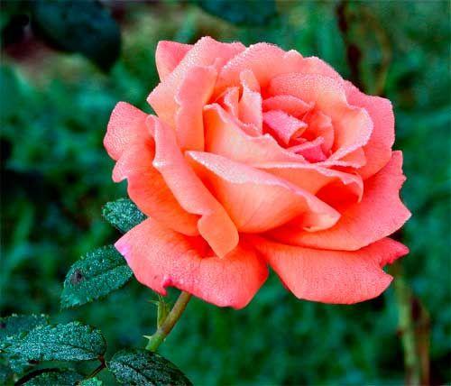 Una bella flor llamada rosa