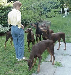 pictures of dobermans - Google Search