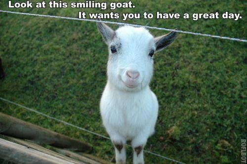 Funny Black Sheep Meme : Smiling goat meme cute memes and gifs goats meme