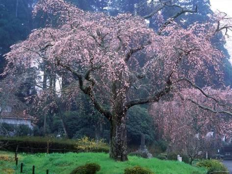 Weeping Cherry Tree Photographic Print Art Com In 2021 Weeping Cherry Tree Cherry Tree Flowering Cherry Tree