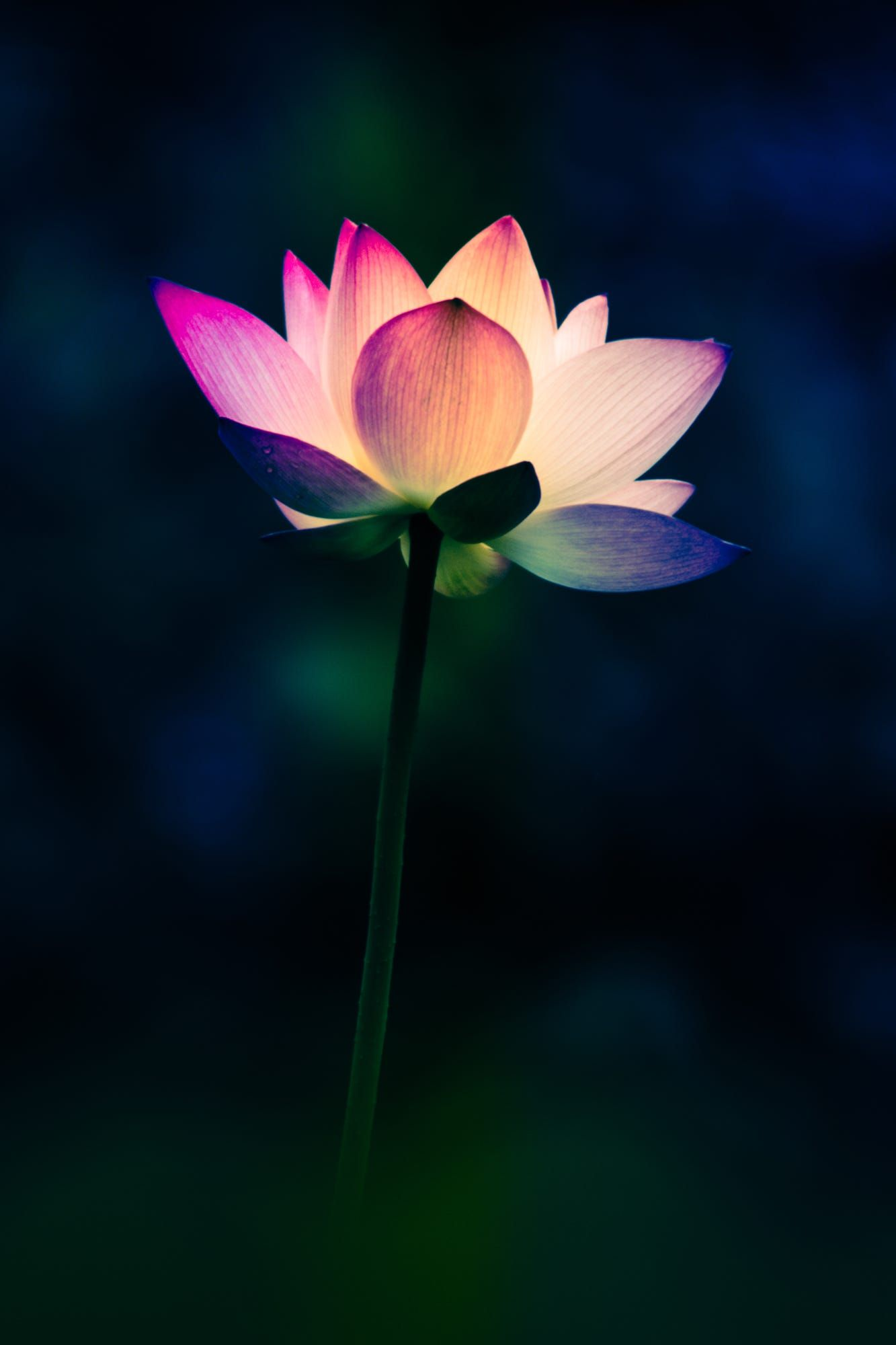 Gorgeous Lotus Flower Lotus