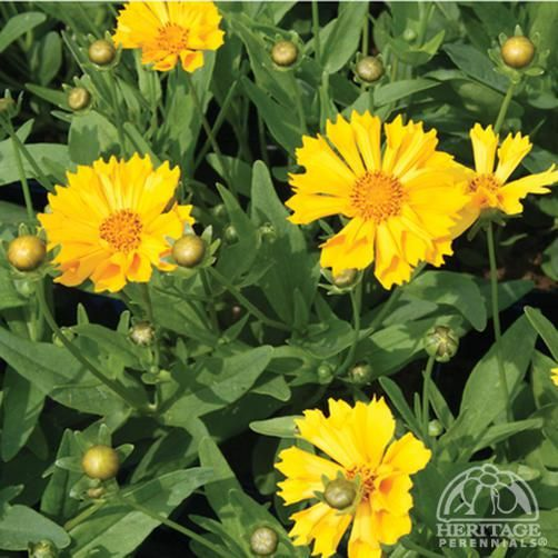 Coreopsis 'Jethro Tull'... Attracts butterflies. Deer and rabbit resistant. Easy…