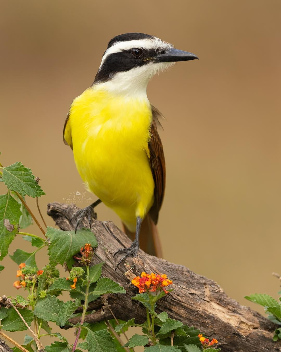 This Is A Greater Kiskadee From My Workshop With Alan Murphy