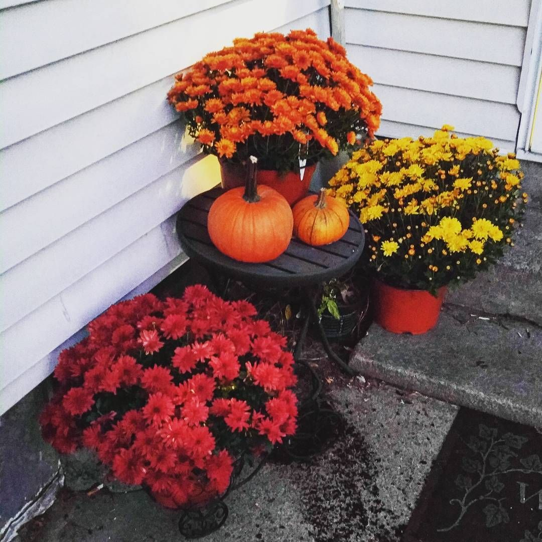 Fall mums fall mums planting and perennials everything you need to know about caring for fall mums izmirmasajfo
