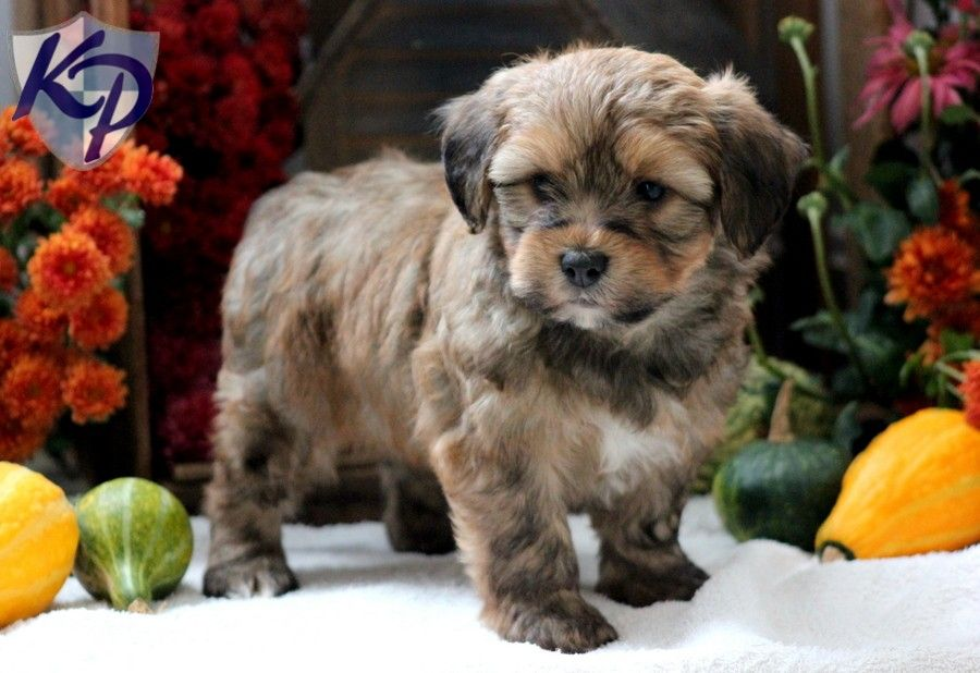 Puppy Finder Find Buy A Dog Today By Using Our Petfinder Puppies And Kitties Cavapoo Puppies Puppy Finder