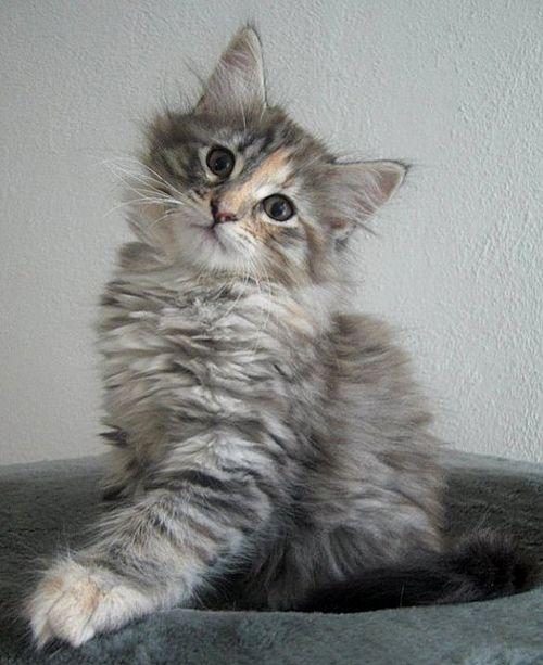 Onwijs noorse boskat kittens - Google zoeken | Norwegian forest /Siberian ZK-89