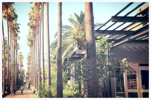 Arizona State University Asu Palm Walk Tree Tempe Campus