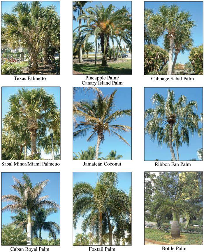 palmtrees.jpg 700×863 pixels EXOTIC PALM TREES Pinterest