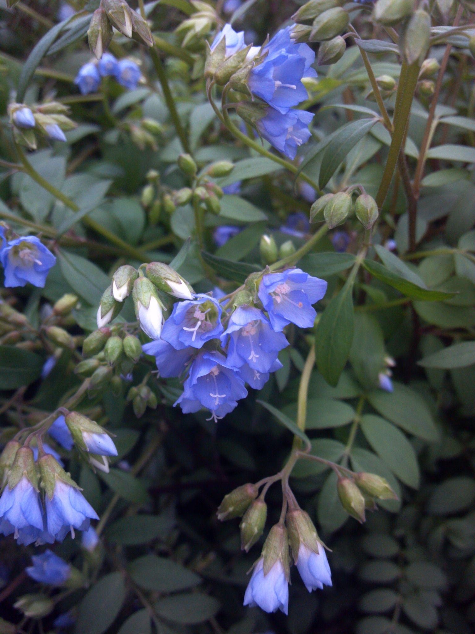Polemonium Reptans Jacobs Ladder North America Native Blue Flower