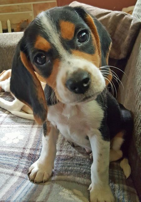 The Beagle Originated In England His Heritage Stretches Back To