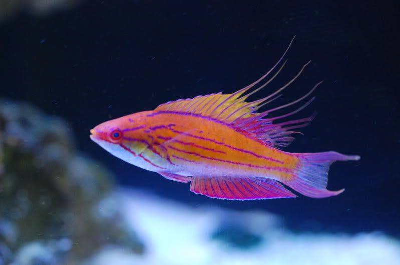 Reef Safe Wrasse Fish Cleaner Wrasse And Other Reef Safe Wrasse Species Saltwater Fish Tanks Saltwater Aquarium Fish