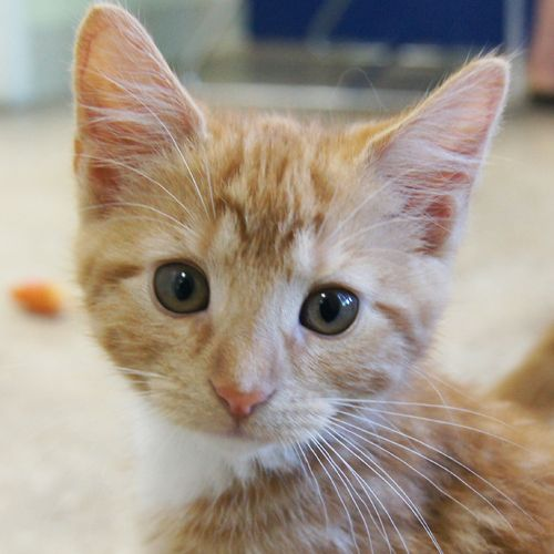 Adopted Tia Is A 4 Month Old Spayed Female Orange And White Domestic Short Hair Kitten Tia Is An Absolute Sweetheart Sh Lucky Dogs Animals Cat Boarding