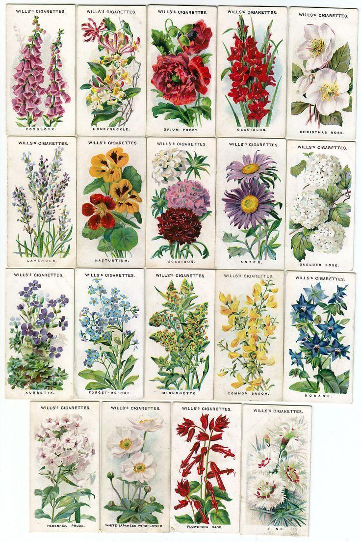 Каталог семян цветов с фото седек британских