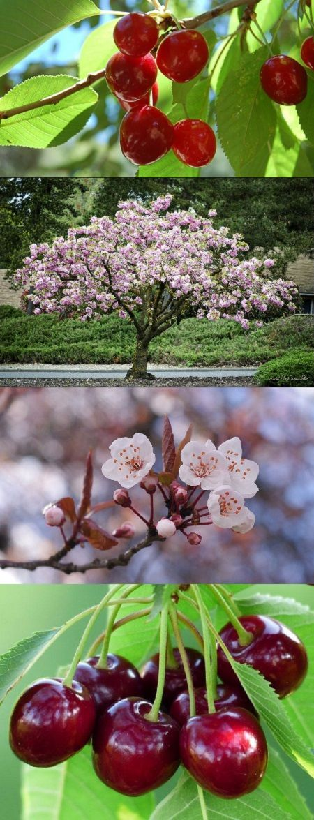 How To Grow A Cherry Tree From Seeds How Grow Cherry Seed Cherry Trees Garden Growing Cherry Trees Cherry Fruit Tree