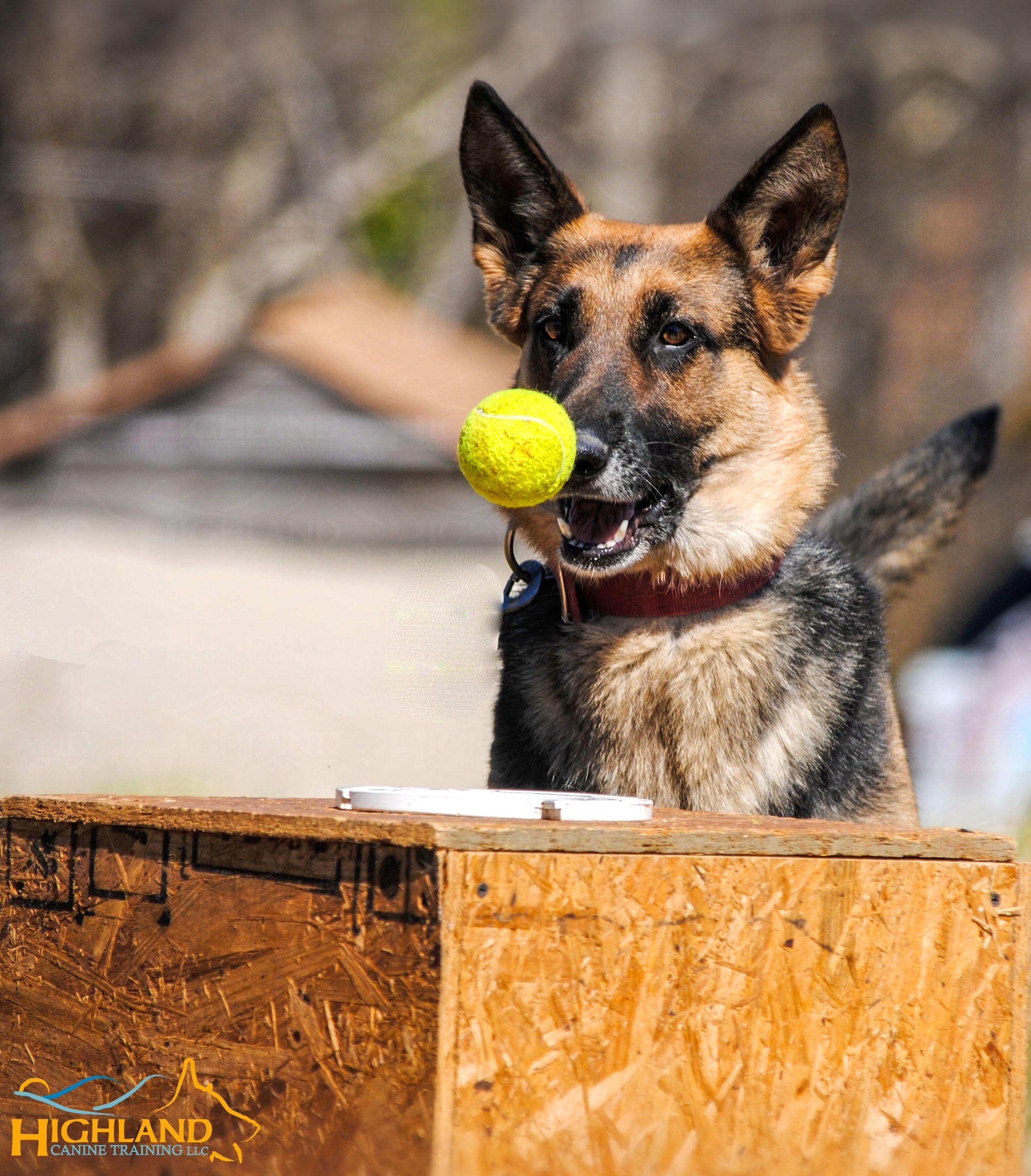 Detection dog training at its best germanshepherd
