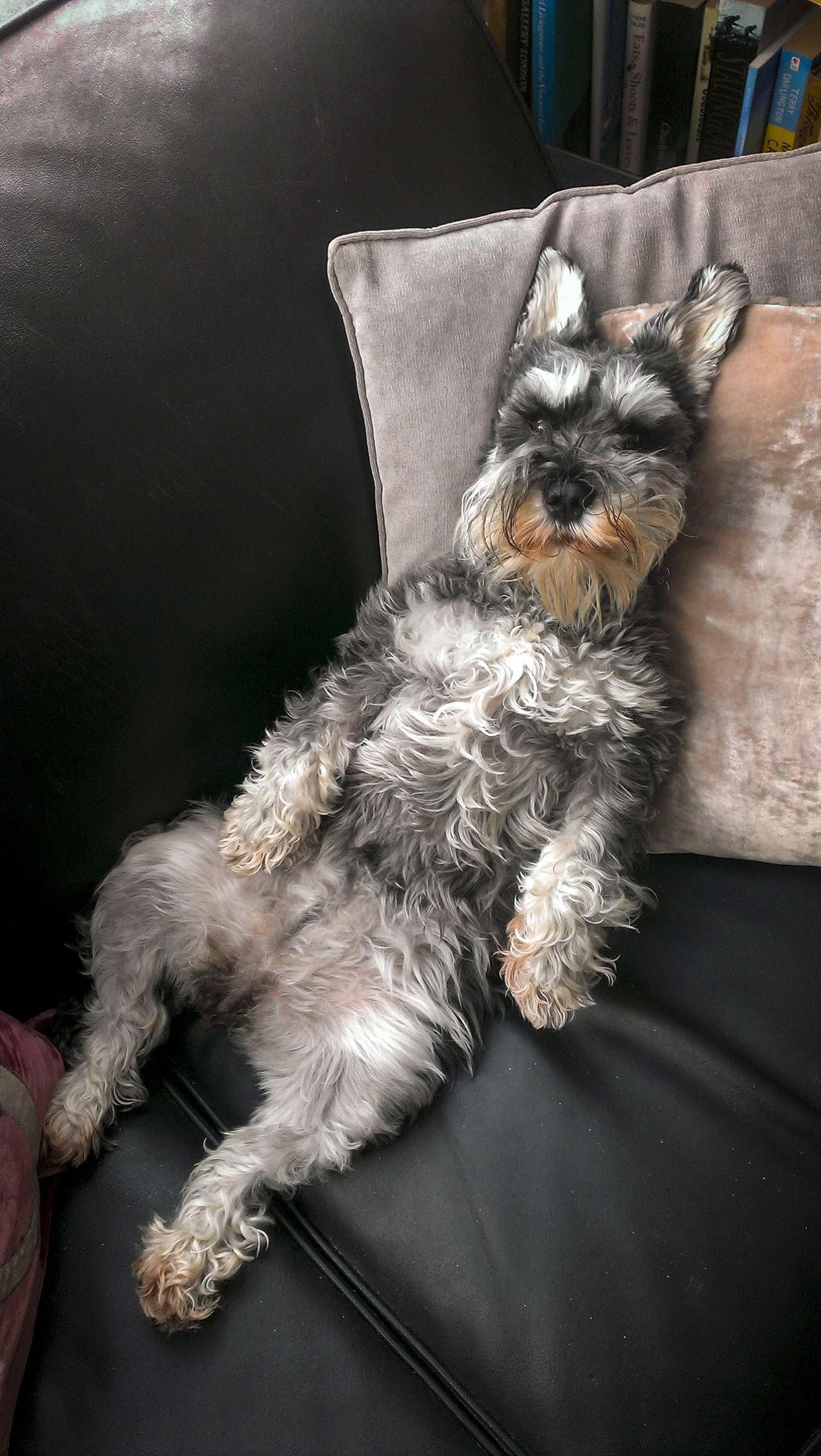 Fantastic Schnauzer Puppies Detail Is Offered On Our Site Take