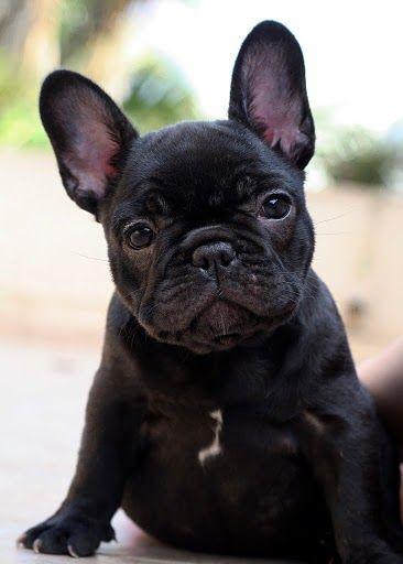 Fuckyeahfrenchies French Bulldog Puppies Bulldog Puppies Cute