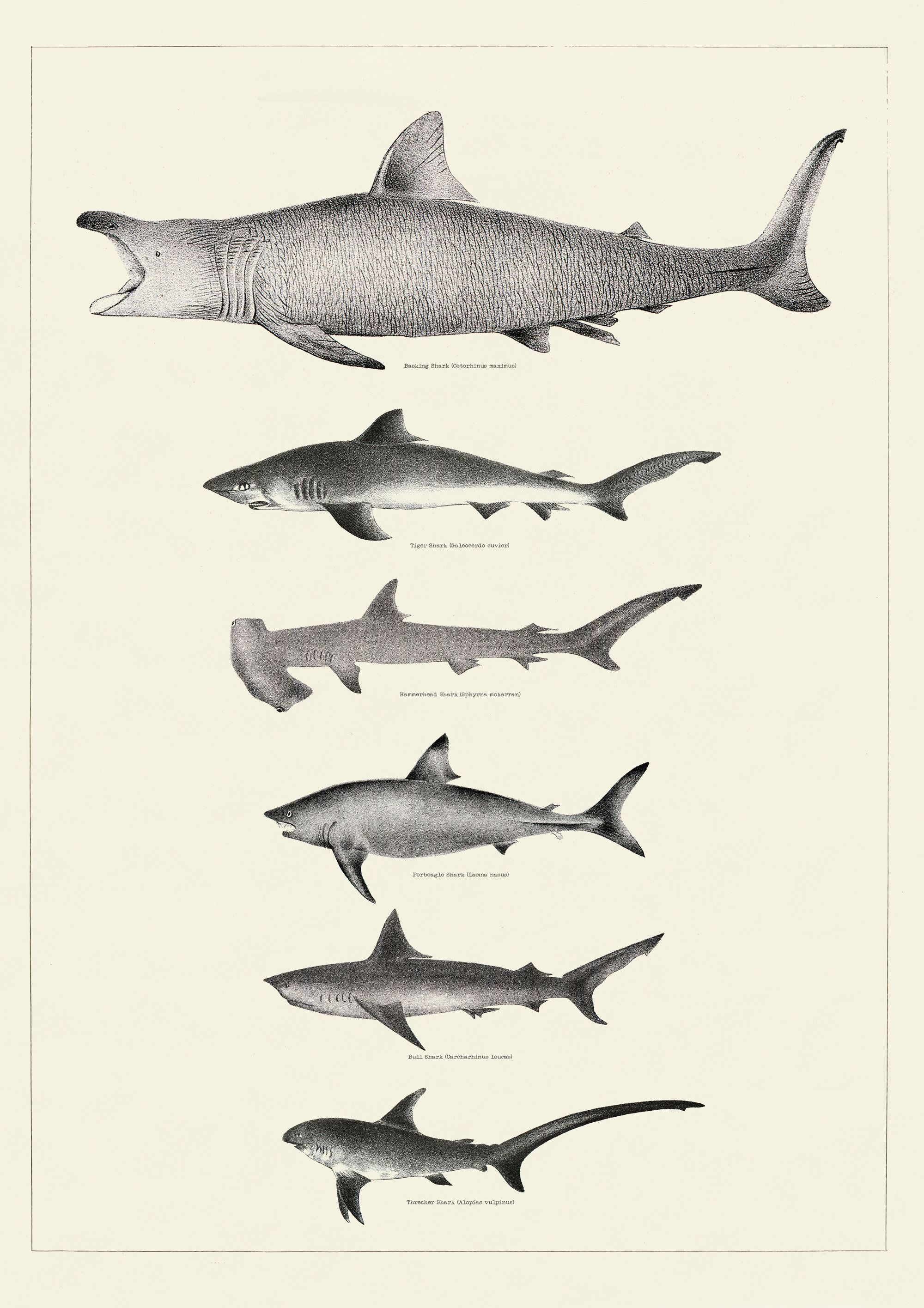 Vintage Shark Print Bathroom Wall Art Sharks Wall Art Etsy Vintage Shark Shark Illustration Shark Drawing