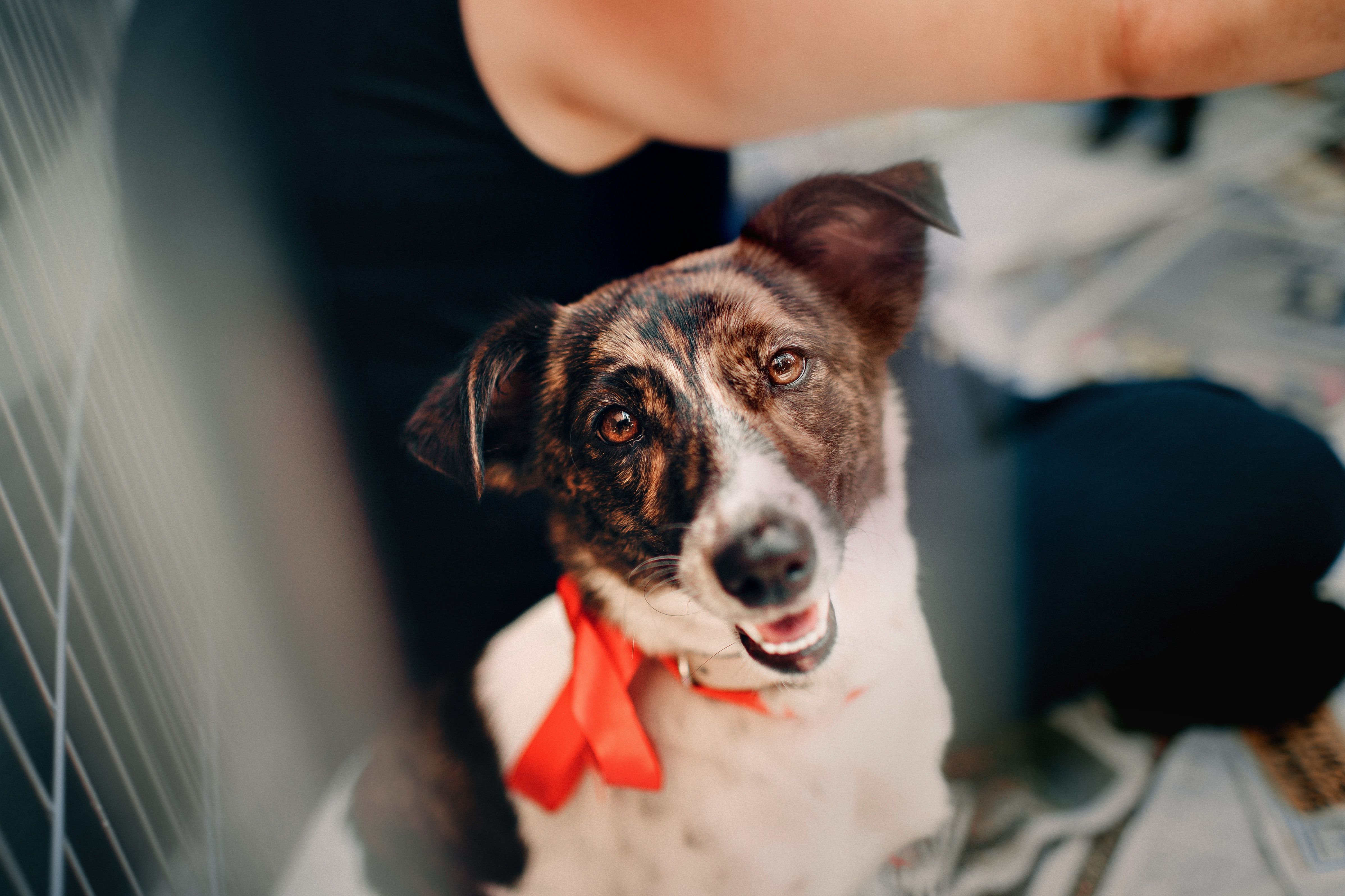 How To Write Better Pet Adoption Ads Animal Pug Chihuahua