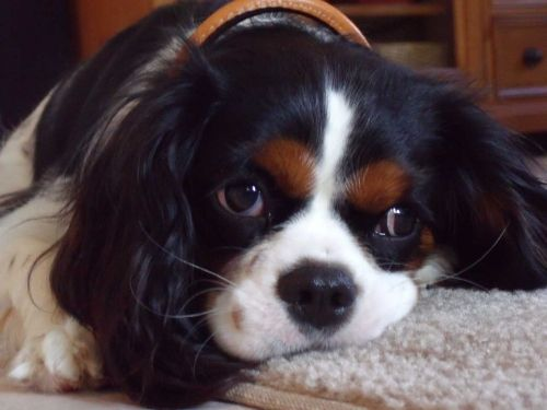 Home Kitchens In Exeter King Charles Dog Cavalier King Charles Dog Cavalier King Charles Spaniel