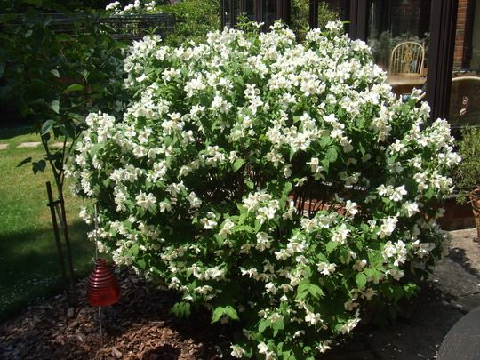 Philadelphus Belle Etoile Perfect Plants Woodland Garden