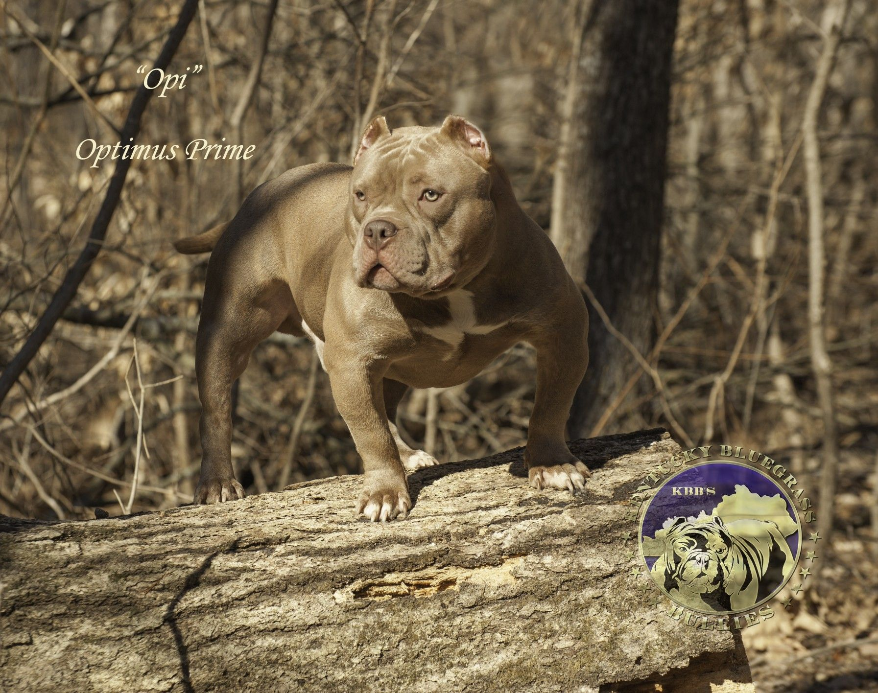 Optimus Prime American Bully Optimus Prime American