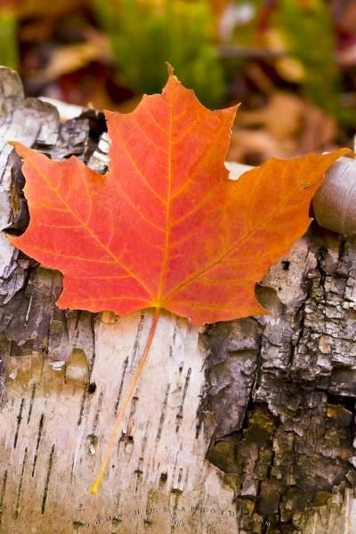 Red Maple Leaf Canadian Symbol Photo Information Autumn
