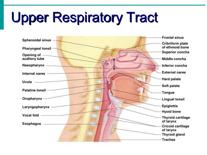 Anatomy Of Upper Respiratory Tract Note The Main Structures Of