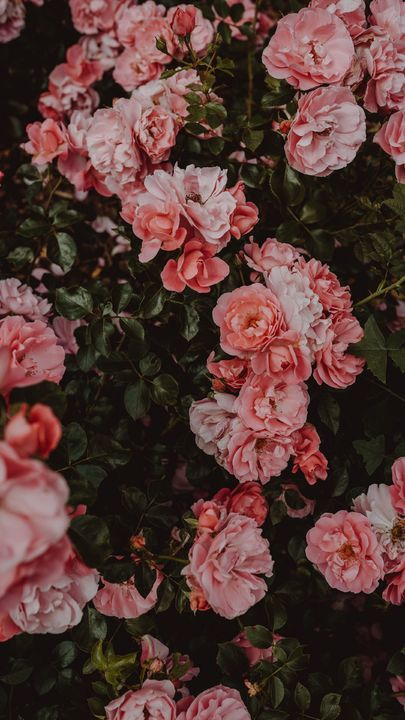 The latest iPhone11, iPhone11 Pro, iPhone 11 Pro Max mobile phone HD wallpapers free download, roses, flowers, bush, flowering - Free Wallpaper | Download Free Wallpapers