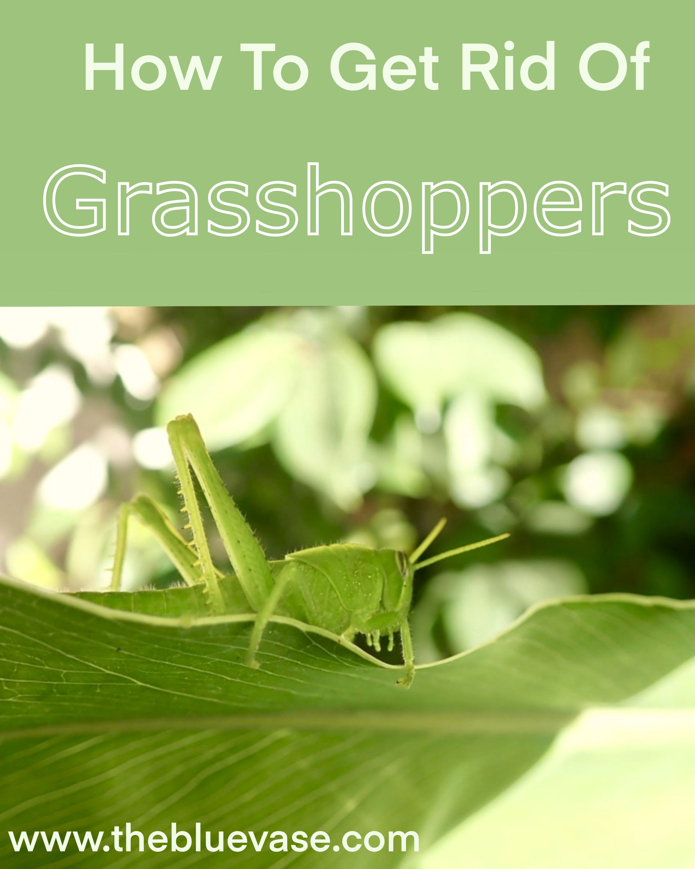 66c193e83694a7fb171a08deefc92bc1 - How To Get Rid Of Grasshoppers On My Plants