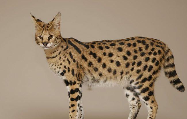 ۱۸ جاندار دورگه عجیب و غریب که آدم به سختی باورش می شود واقعا وجود دارند Cat Breeds With Pictures Serval Cats Cat Breeds