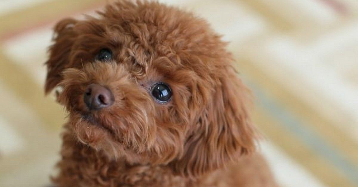 Best Small Non Shedding Dogs For Kids Small Non Shedding Dogs