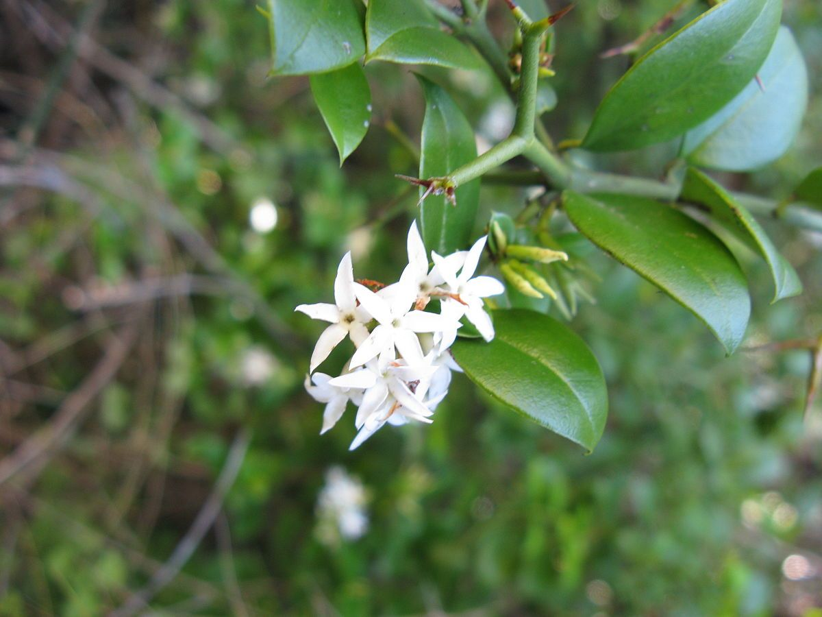 Carissa bispinosa grows as a shrub or small tree up to 5 metres 16 carissa bispinosa grows as a shrub or small tree up to 5 metres 16 ft mightylinksfo