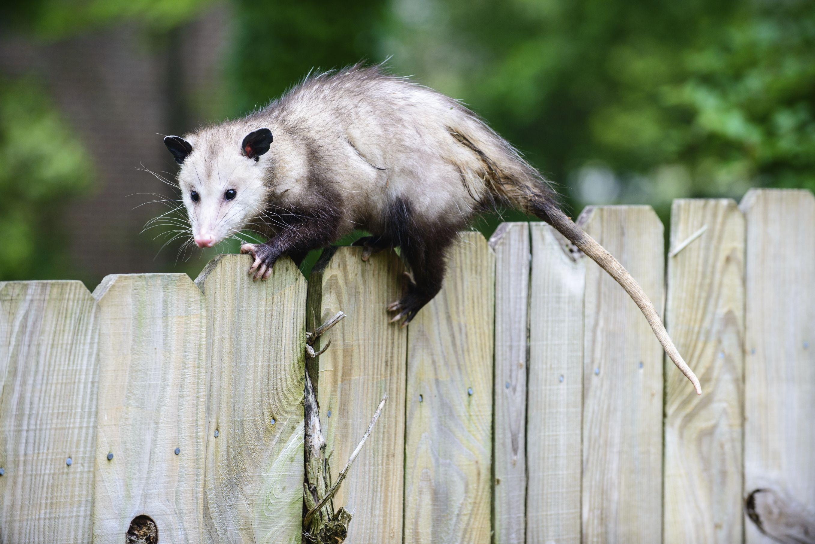 A Possum on a fence! Opossum, Up dog, Animals