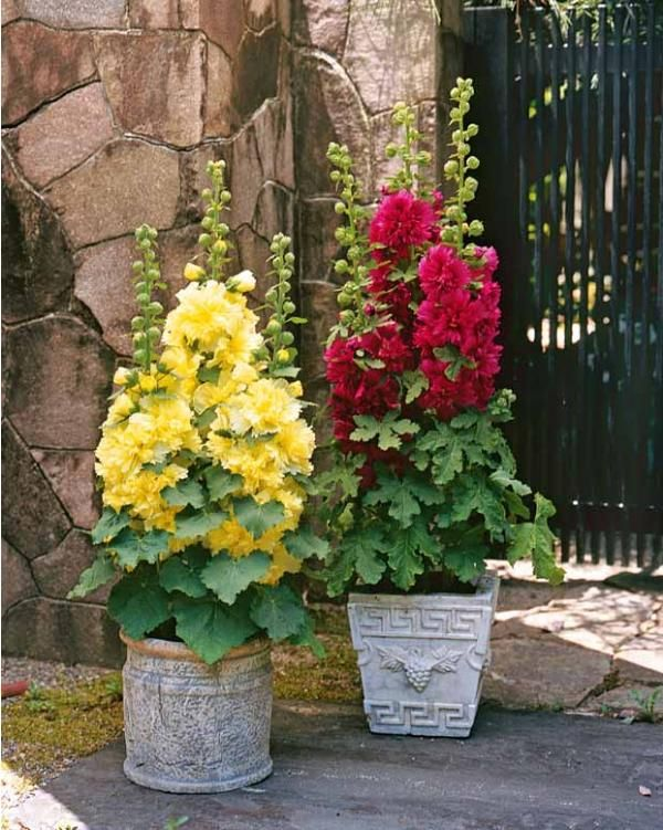 hollyhock wonder if it is a miniature variety would love to have containers full of hollyhock. Black Bedroom Furniture Sets. Home Design Ideas