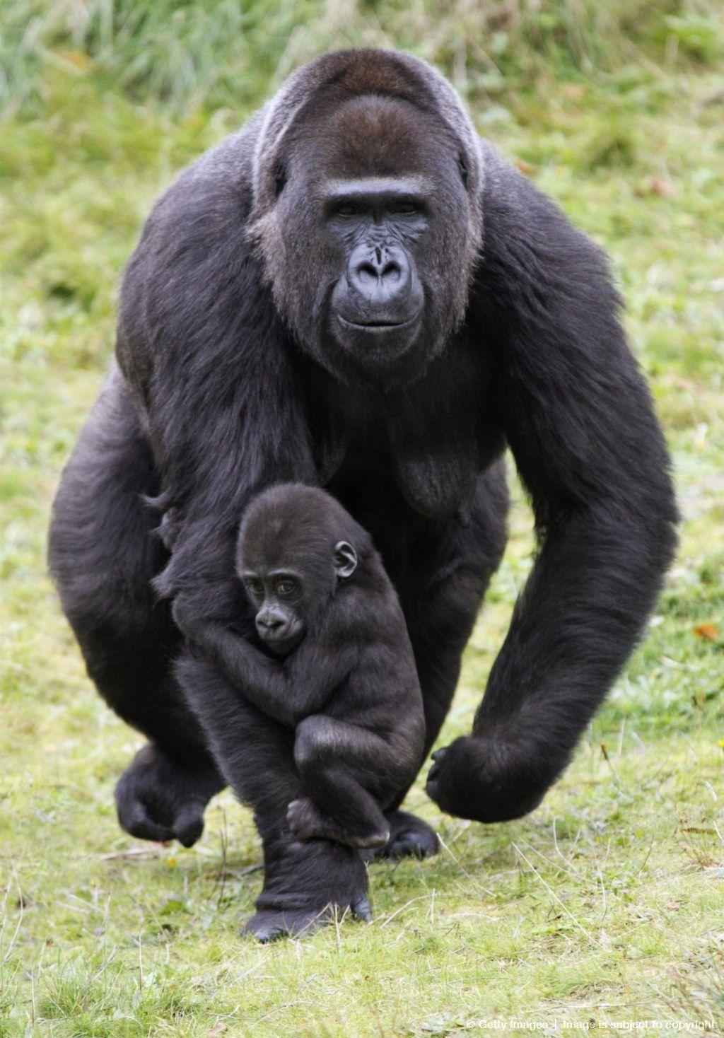 Gorillas   Gorilla, Animals, Animals beautiful