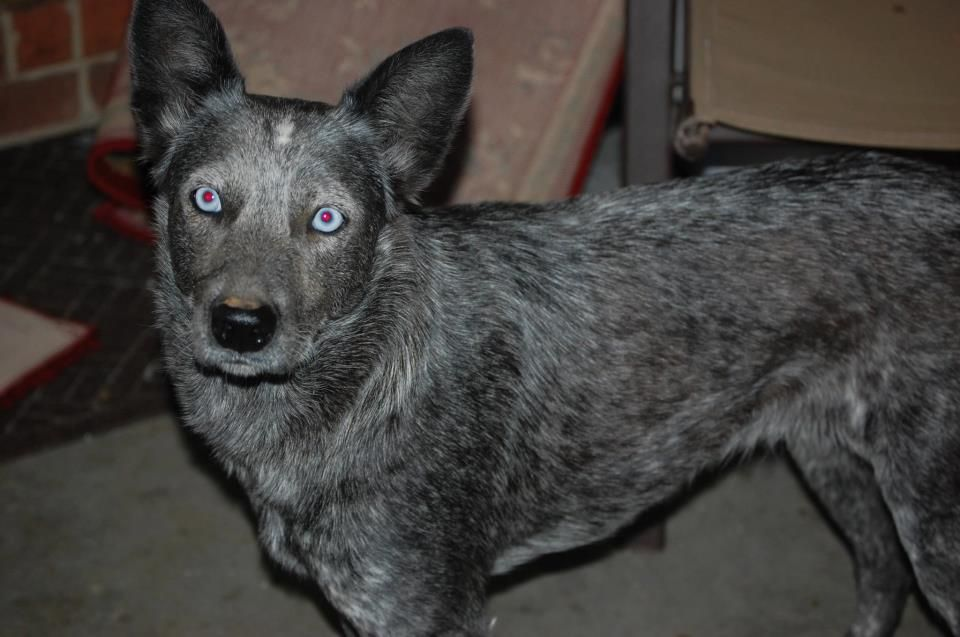Sweetie Is A Beautiful Deaf Blue Heeler In Aiken Nc Who Needs A Home She Has Stunning Blue Eyes Http Deafdogsrock Com M Dog Rules Deaf Dog Cattle Dogs Rule