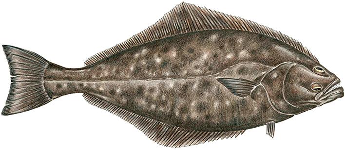 Atlantic Halibut Drawing Fish Drawings Fish Art Fish