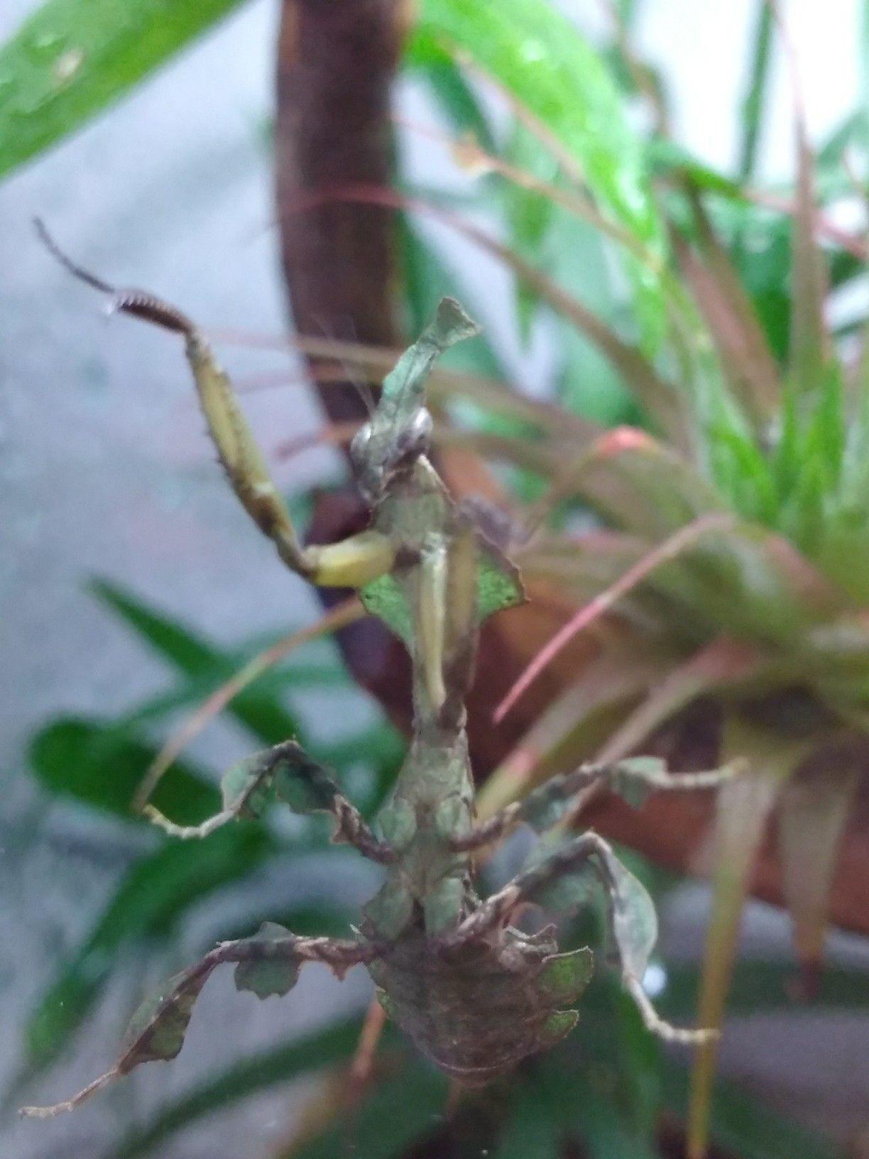 Pin By Patricia J On Praying Mantis My Ghost Praying Mantis Ghost