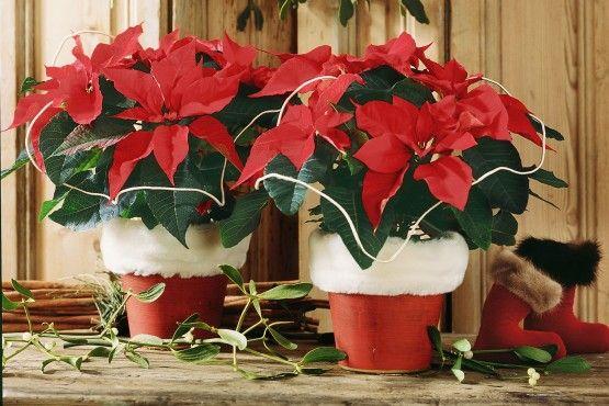 Gwiazda Betlejemska niezmiennie kojarzy się ze Świętami.