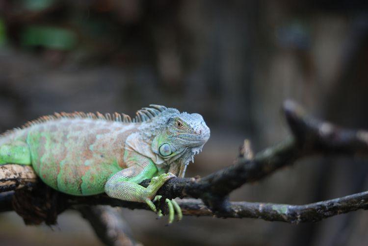 A Guide To Caring For Iguanas As Pets Iguana Pet Iguana My Animal
