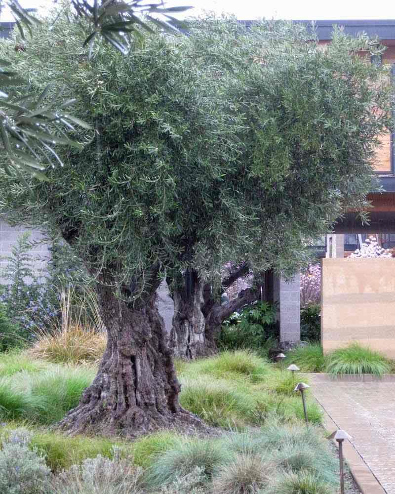 aménagement jardin avec grand olivier en pleine terre et