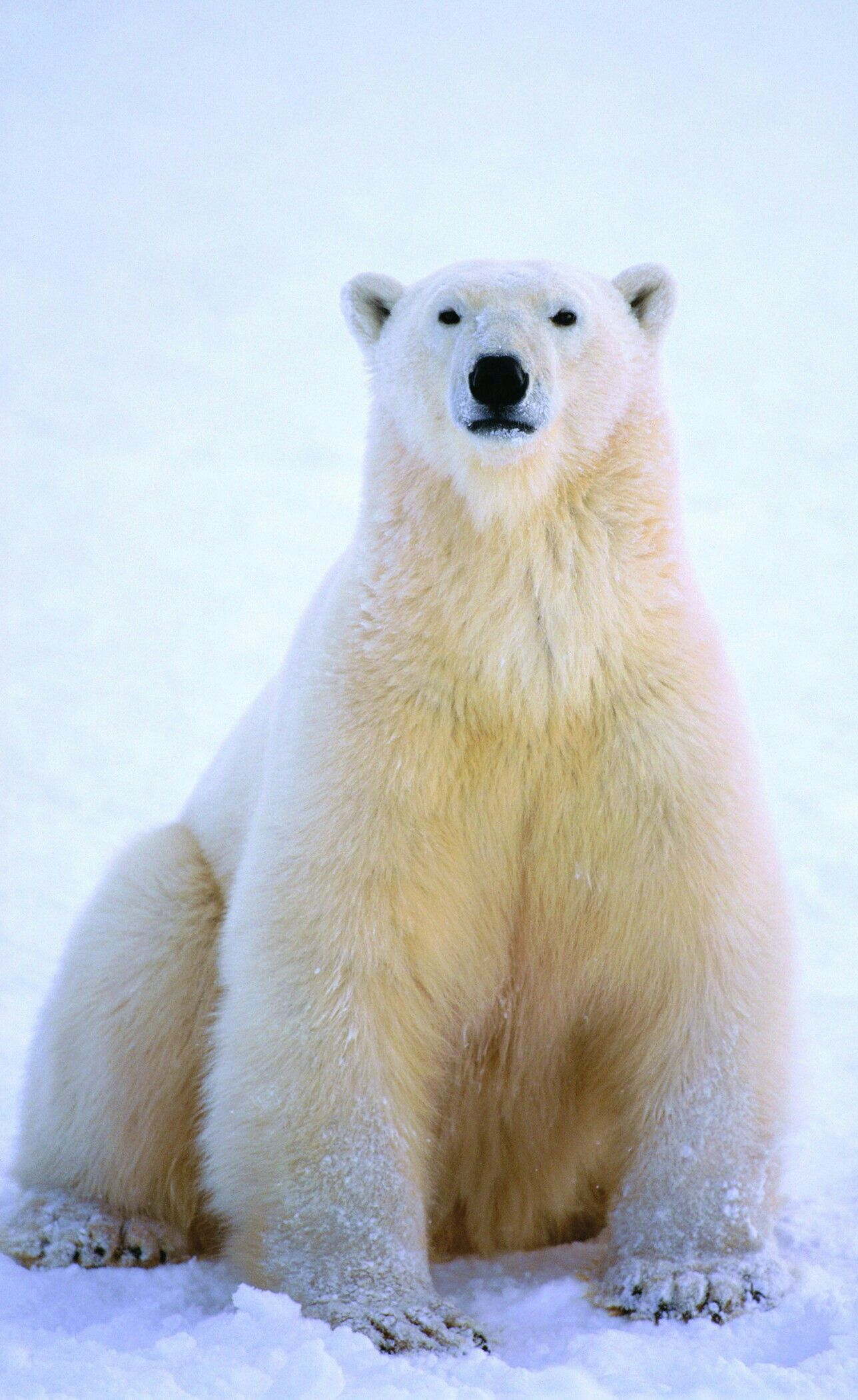 sitting up proud el228imi228 polar bearbear ja bear photos