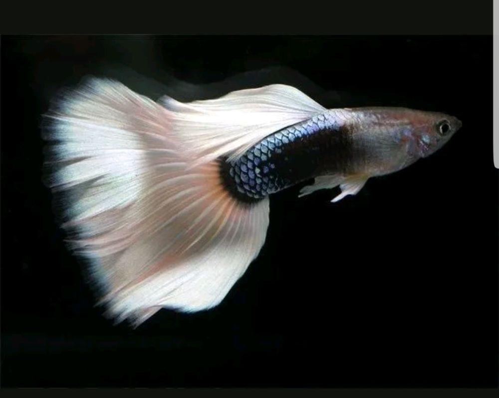 1 Male Black And White Pastel Guppy Guppy Fish Guppy Tropical Fish