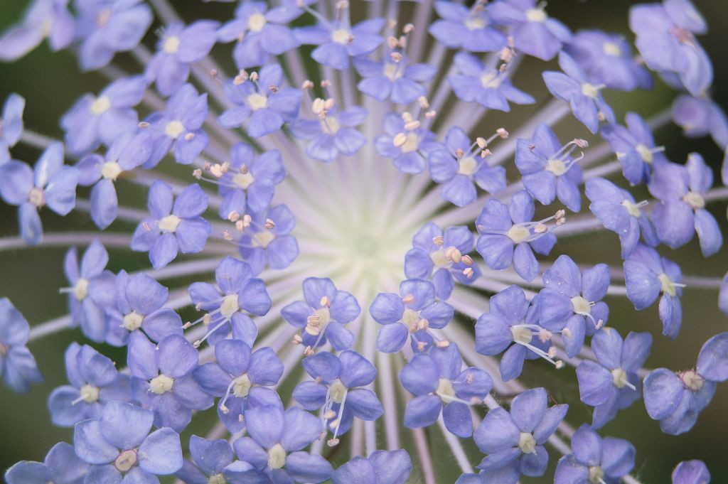Attracts Wasps Which Eat Harmful Insects To Garden Didiscus Caeruleus Trachymene Caerulea This Blue Lace Flower Is An Annual Caerulea Harmful Insects Plants