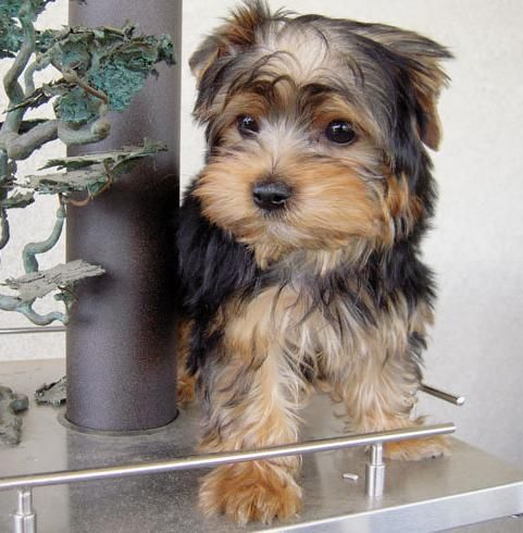 Pictures of  Yorkshire terrier Puppy