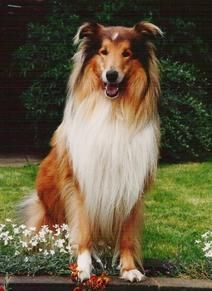 I Love Rough Collie Dogs 2015 Calendar Is On Sale Proceeds From