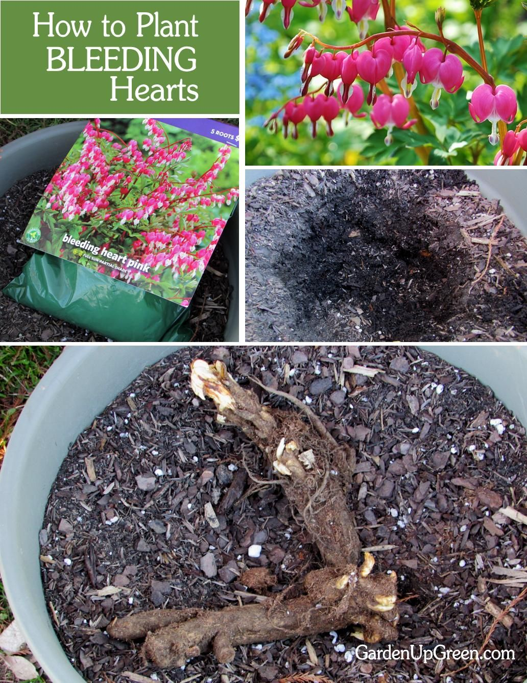 Planting Bleeding Hearts Beautiful Flowers Garden Bleeding Hearts Flower Garden